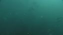 205006-10-03-58-01-SARDINES-REQUIN-BAIT_BALL-DAUPHINS
