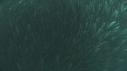 205006-10-09-27-09-SARDINES-REQUIN-BAIT_BALL-DAUPHINS