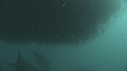 205006-10-23-18-02-SARDINES-DAUPHINS-BAIT_BALL