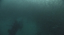 205007-11-17-10-17-SARDINES-FOUS-PLONGEUR