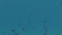208015-15-26-06-08-DASCILUS-ANEMONE