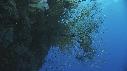 217012-12-06-14-18-CORAIL_NOIR-ALCYONNAIRE