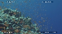 217501-1-13-36-02-CORAIL_DUR-ANTHIAS
